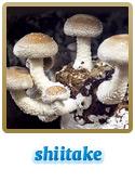 Variedade Shiitake